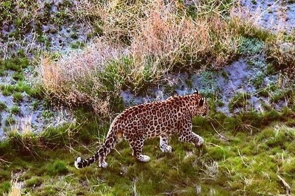 Persian Leopard Spotted at Lake Urmia Island