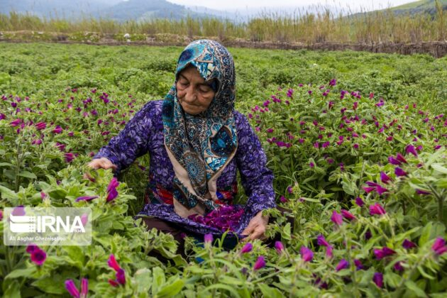 Echium Harvest in Golestan 5