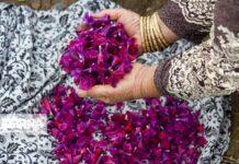 Echium Harvest in Golestan 5