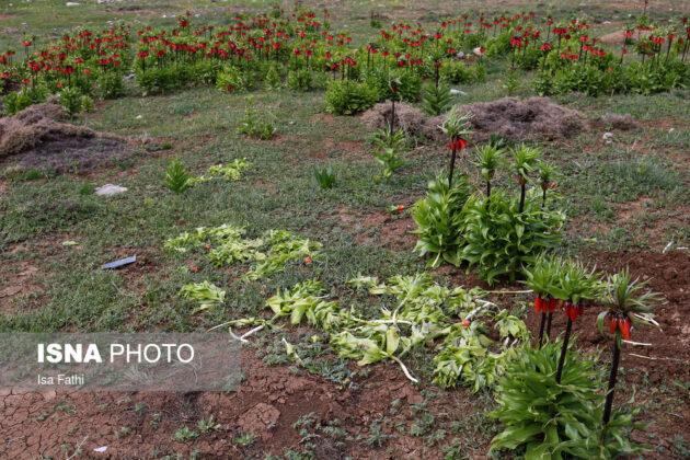 Upside-Down Tulips in Southwestern Iran 5