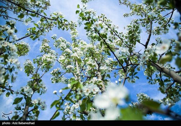 Spring Blooms in Hanam, Lorestan 16