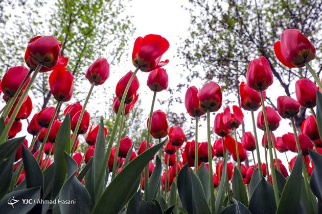 Tulip Festival of Mashhad 13