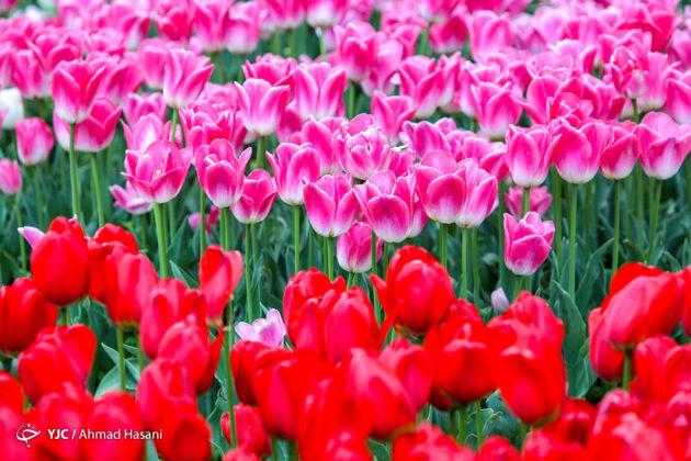 Tulip Festival of Mashhad 1