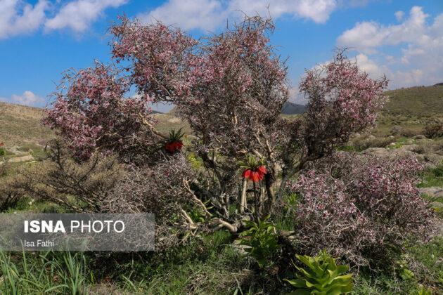 Flowers in Southwestern Iran 5