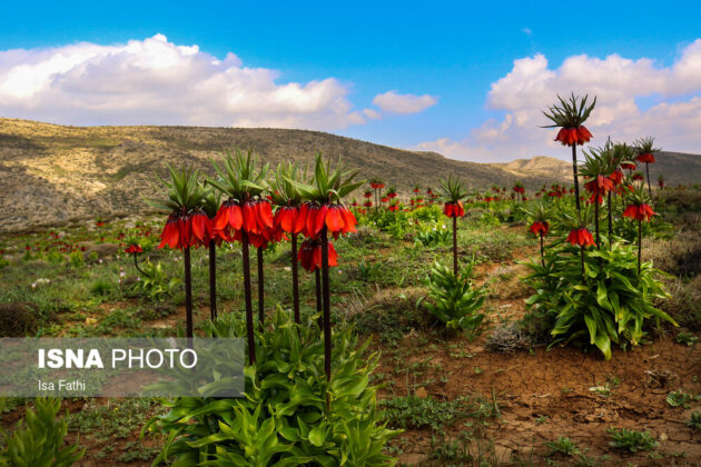 Upside-Down Tulips in Mourpiseh Plain 3
