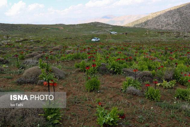 Upside-Down Tulips in Mourpiseh Plain 7