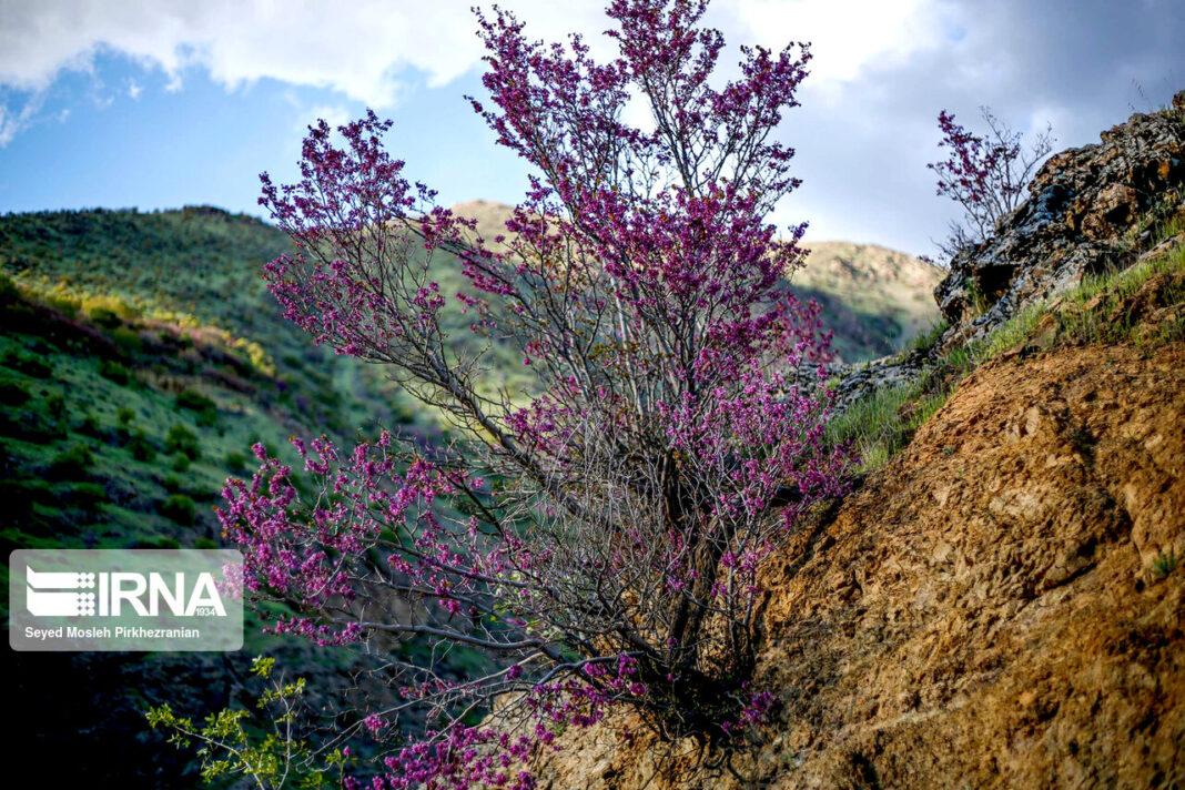 Valley of Judas Trees in Kurdistan 2