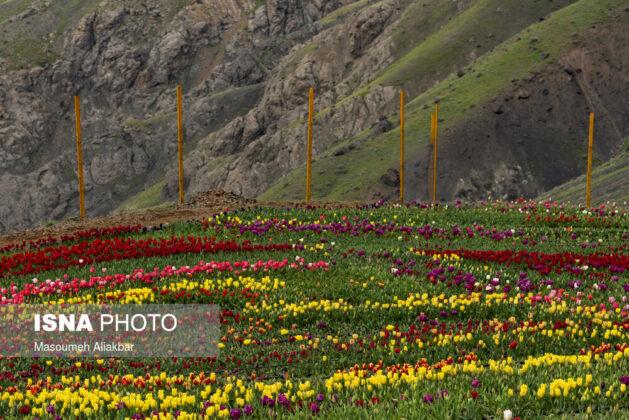 Alborz Tulip Farms