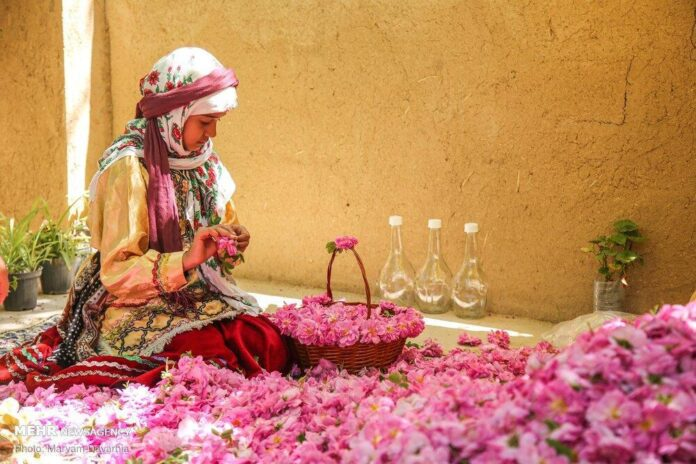 Damask Rose Harvest in Iran's Bojnourd