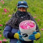 Farmers in Iran's Northeast Start Harvesting Damask Rose