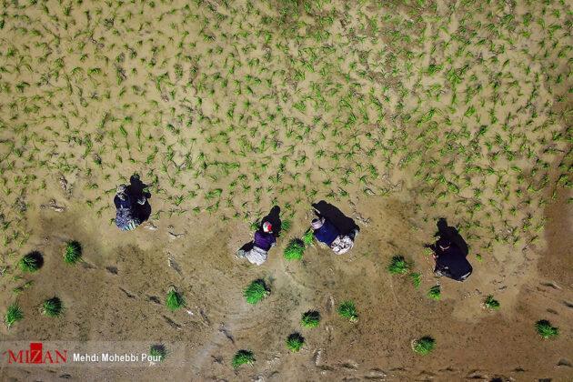 Rice Transplantation in Mazandaran 6