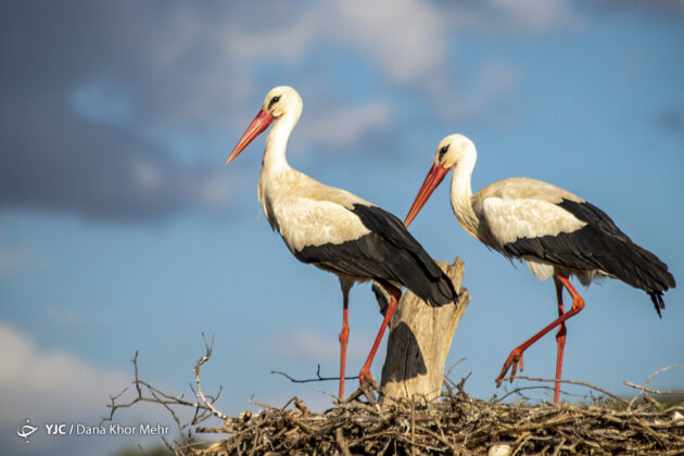 Storks Return to Marivan 2