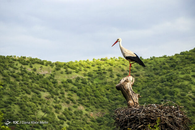 Storks Return to Marivan 1