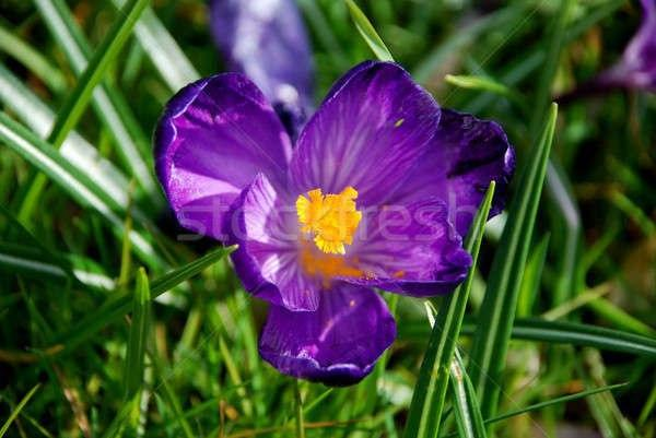 Researchers Use Persian Violet to Treat Breast Cancer