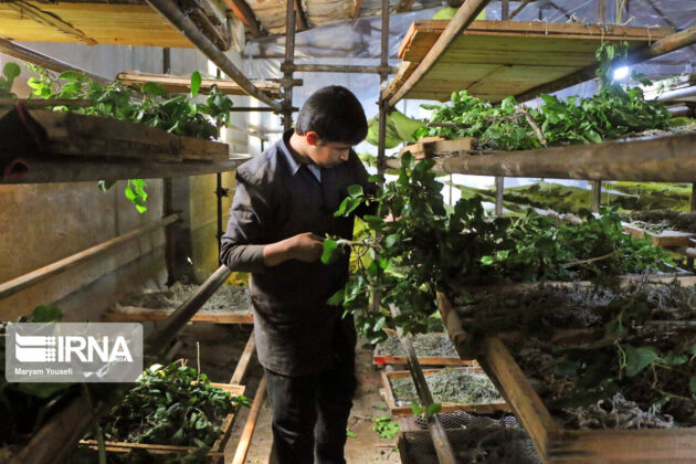 Silk production in Iran 6