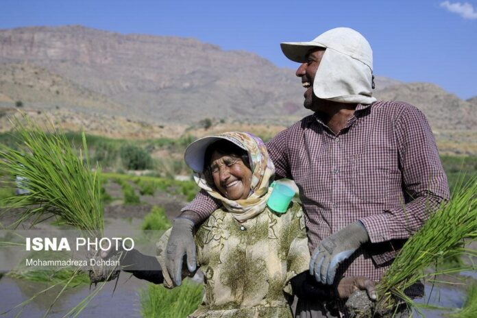 Rice Cultivation in Iran's Fars Province