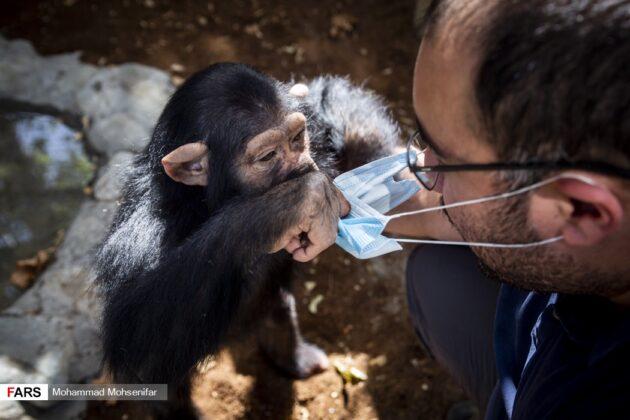 Iran's Only Baby Chimp Survives Premature Birth, Poor Health 19