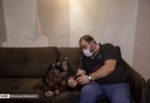 Iran's Only Baby Chimp Survives Premature Birth, Poor Health 4