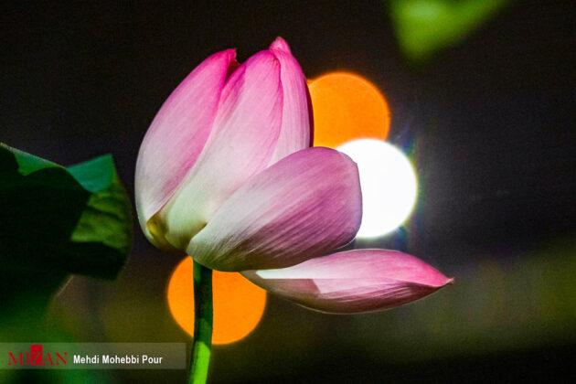 Lotus Lagoon of Mazandaran 4