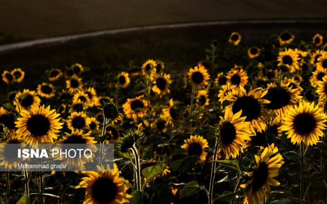 Sunflower Fields of Golidagh 8