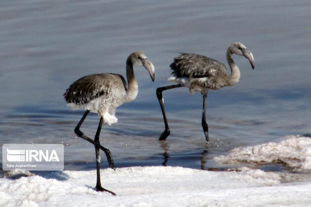 Environmentalists Rescue Flamingos Caught in Salt in Northwestern Iran 5
