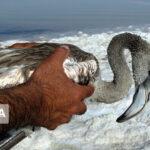 Environmentalists Rescue Flamingos Caught in Salt in Northwestern Iran 5