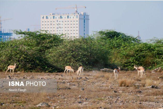 Deer living in a protected natural habitat on Kish Island