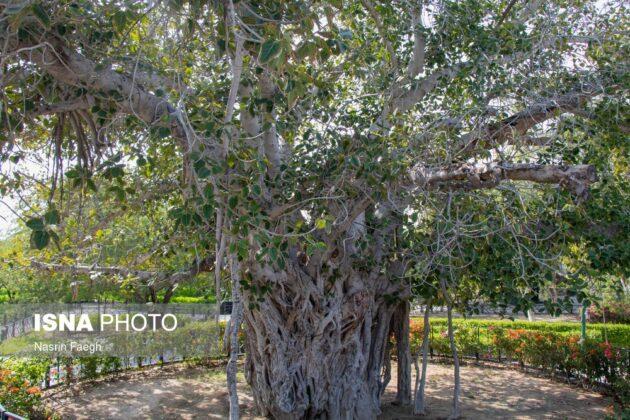 The so-called Green Tree on Kish Island