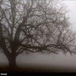 Single Trees Standing Shrouded in Winter Mist