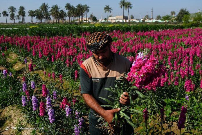 Spring Flower Harvest in Iran's Khuzestan